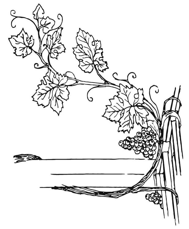 coloring page grapevine img 15710