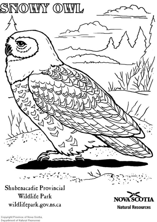 coloring page snowy owl img 6006