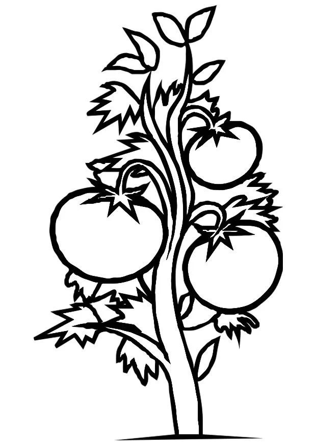 coloring page tomato plant img 19182
