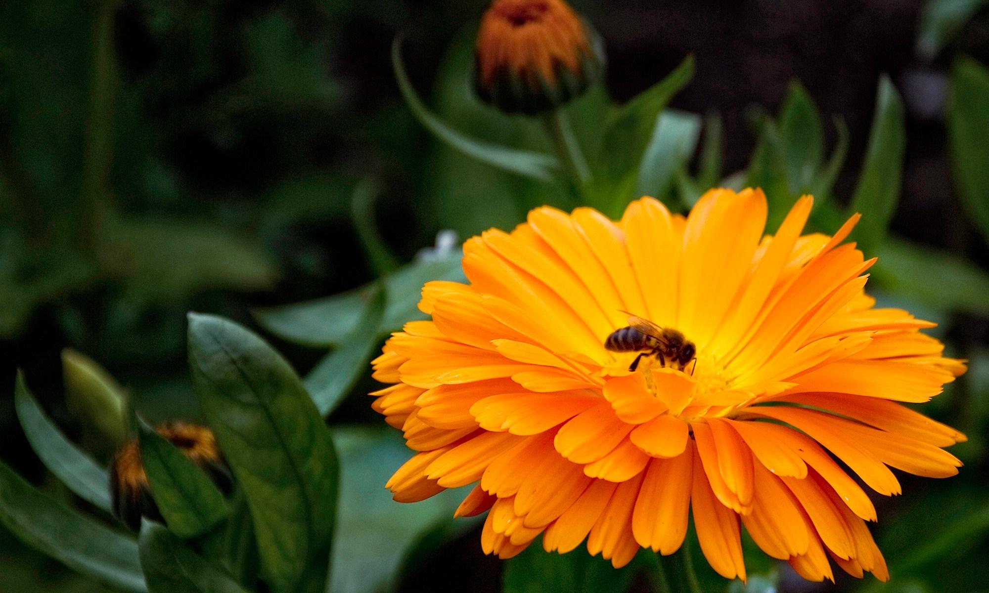 Orange Marigold Flower - Calendula Fiesta Gitana