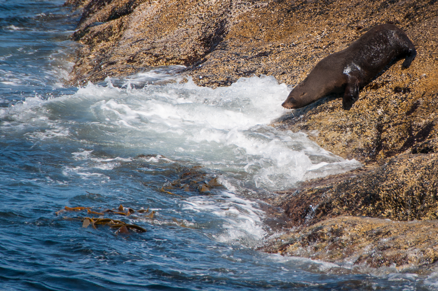 Fur Seal dive
