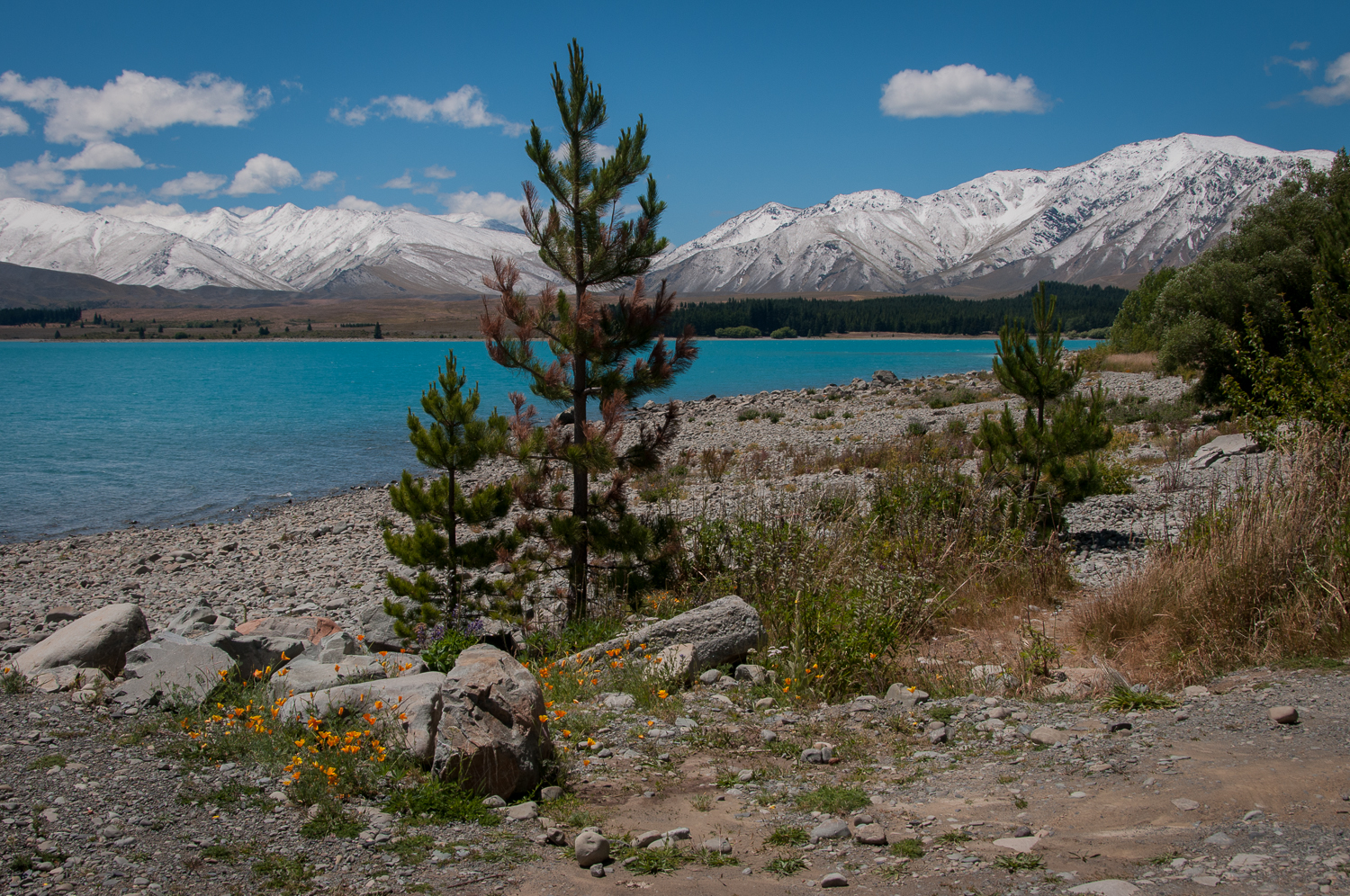 Pine Tree at Lake Tekapo