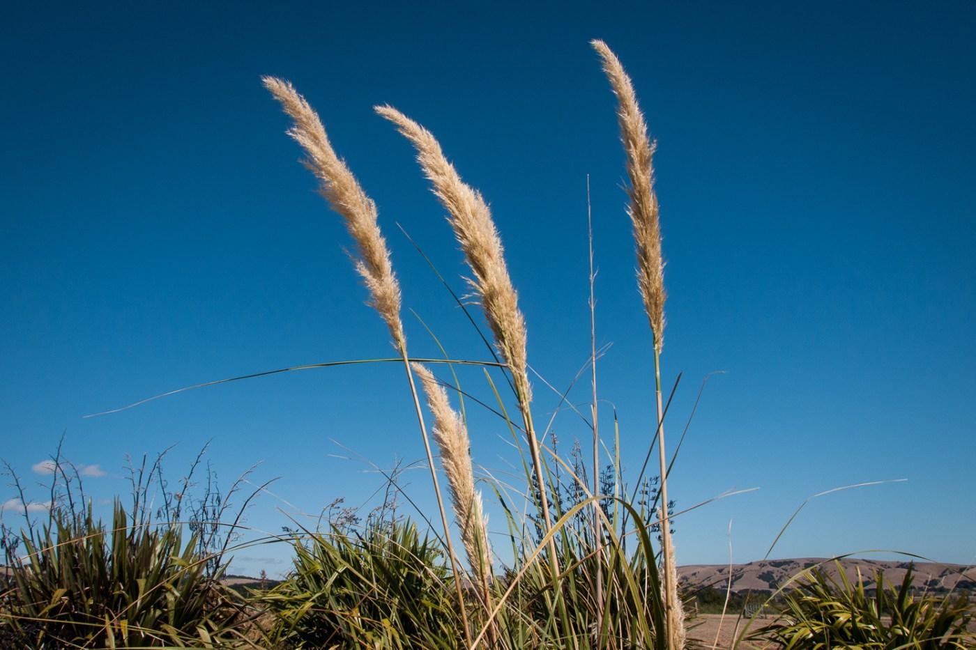 Toetoe Grass