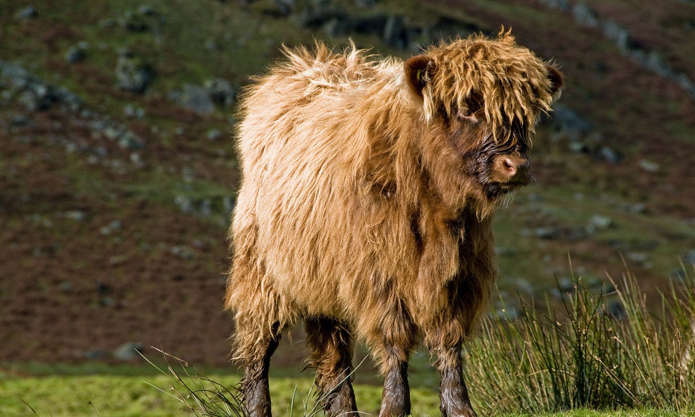 Highland Calf in the Lake District