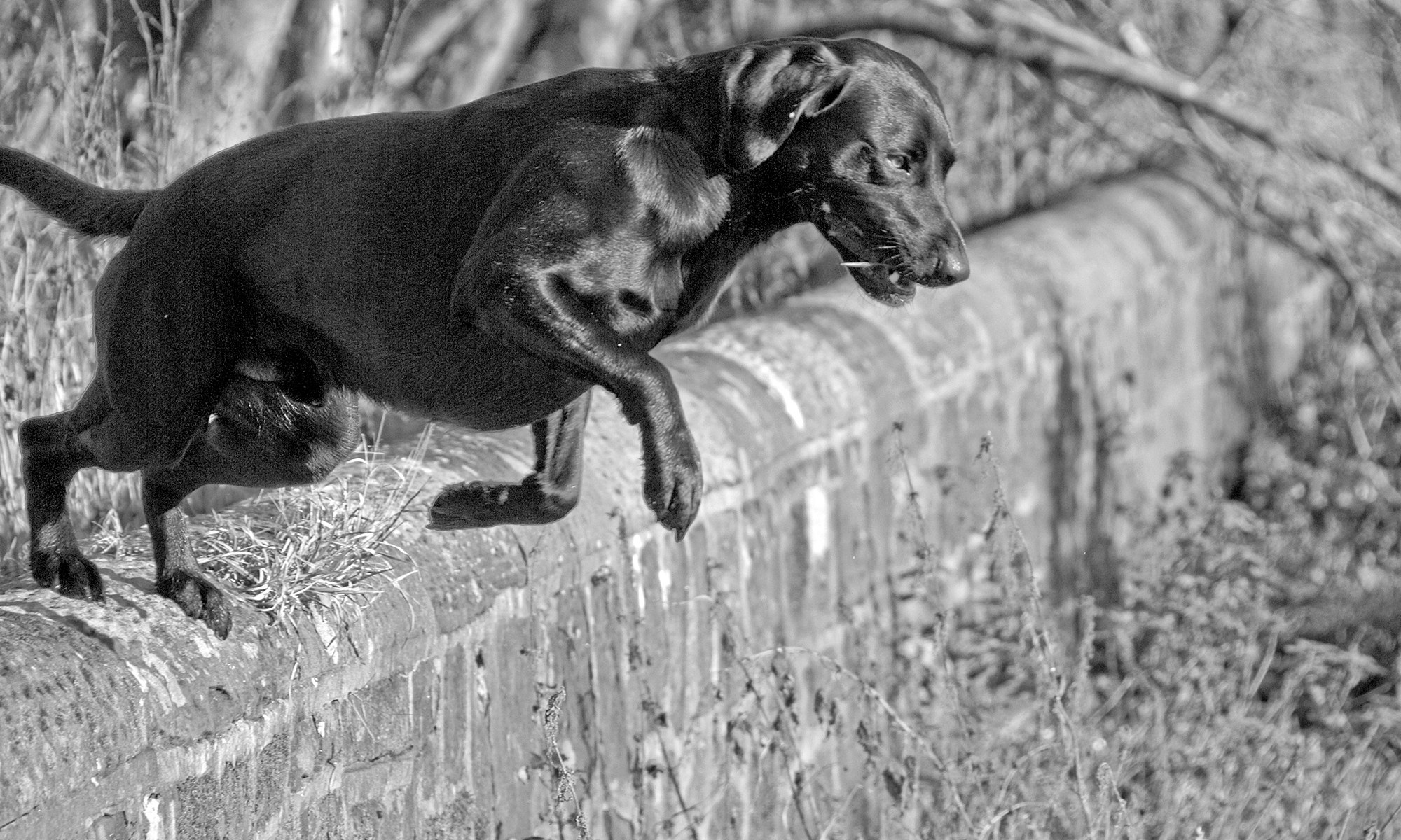 Dog jumping over the wall