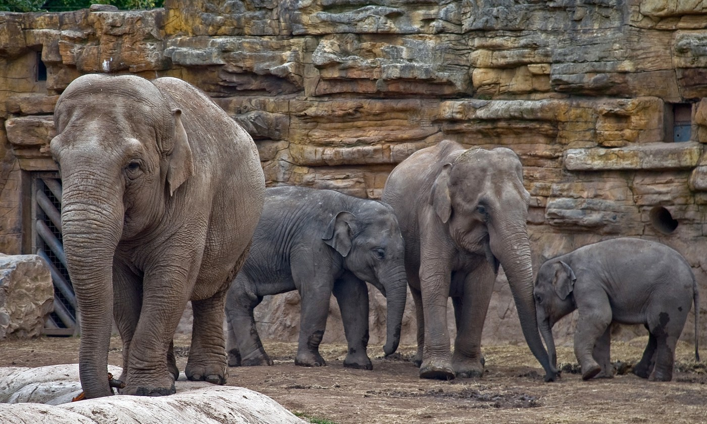 Elephant Family at Chester Zoo