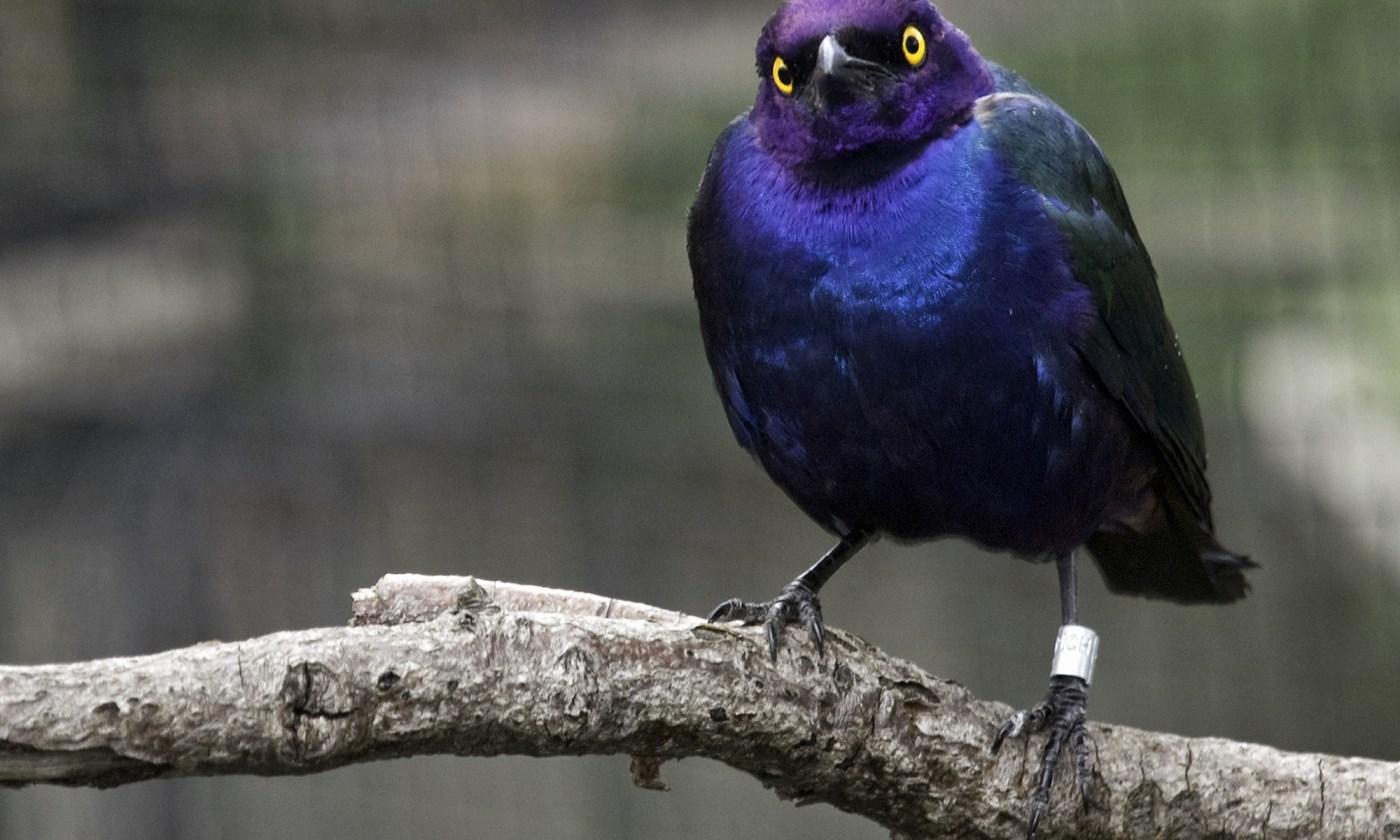 Glossy Purple Starling Bird