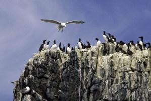 Kittiwake vs. Guillemots on the Farne Islands