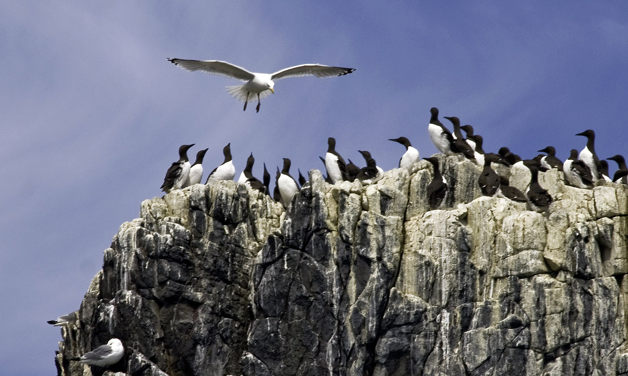 Kittiwake vs. Guillemots on the Farne Islands