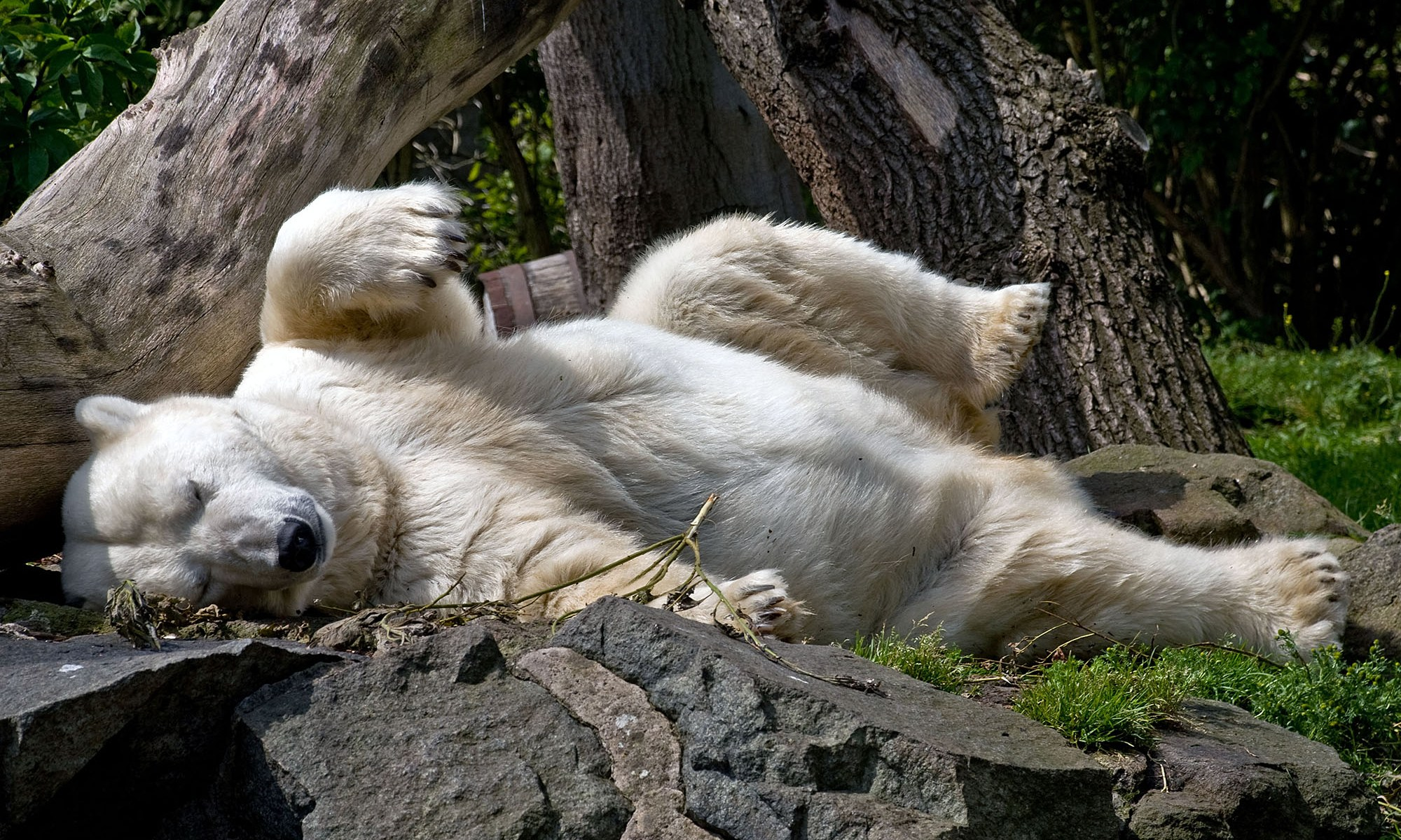 Mercedes the Polar Bear at Edinburgh Zoo