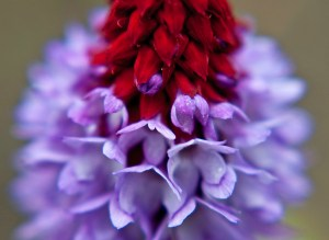 Purple & Red Flower Closeup