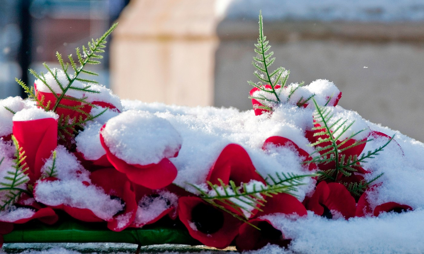Red Roses in the Snow