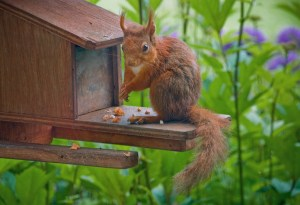 Red Squirrel eating nuts