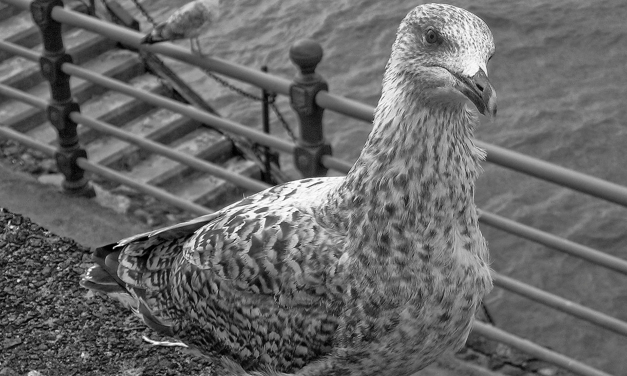 Portrait of a Seagull in Blackpool