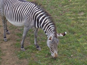 Grevy's Zebra eating grass at Edinburgh Zoo