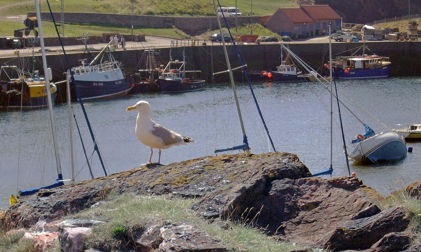Seagull at Dunbar Harbor, Scotland