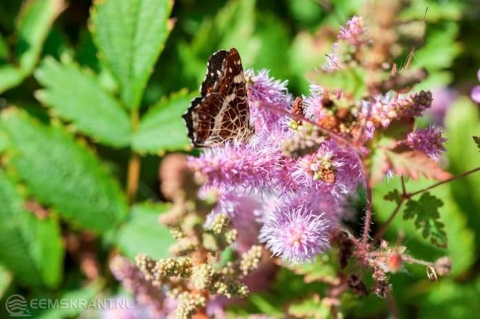 Van 27 juli tot 5 augustus TuinvlinderTelTiendaagse van de Vlinderstichting