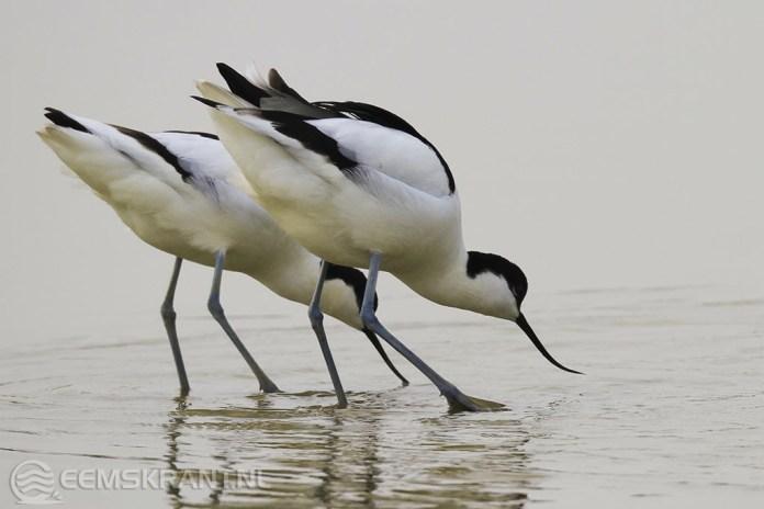 Zeisbrigade geeft weidevogels meer ruimte in Hoeksmeer