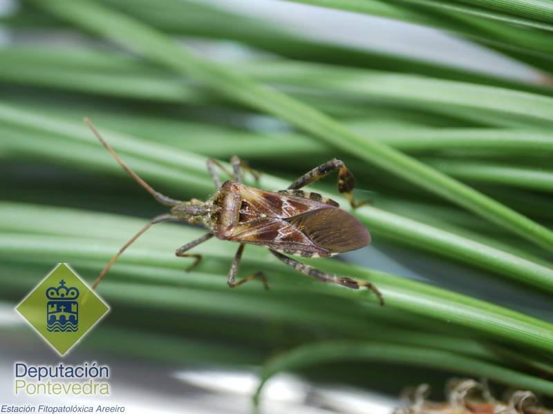 Adulto de Leptoglossus occidentalis