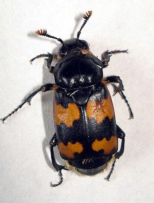 https://i2.wp.com/www.efabre.net/files/fabre/burying-beetle.jpg