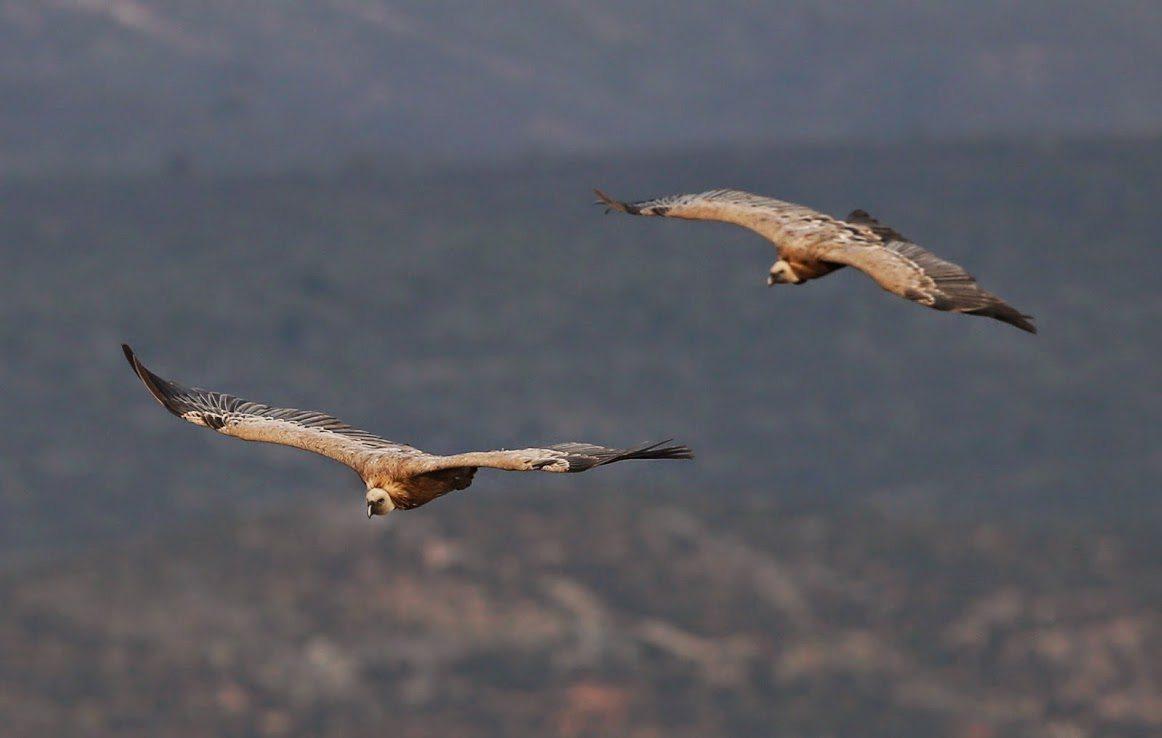 Resultado de imagen de aves carroñeras sobre cuba