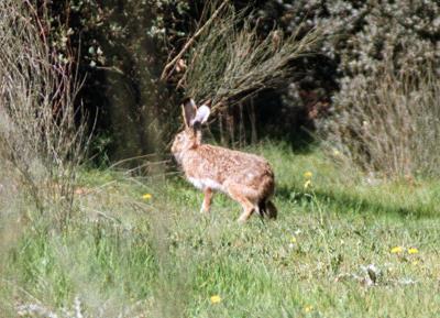 Un conejo silvestre.