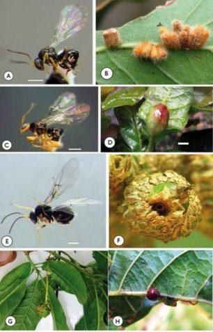 A y B) Avispa N. pulchrigalla y las agallas que induce. C y D) Avispa N. elvisi y su agalla. E y F) Avispa N. glanidiphilus y su agalla. G y H) Agallas de otras especies detectadas. MNCN-CSIC
