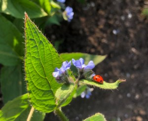 A bright red ladybird sits on a green leaf next to some blue flowers
