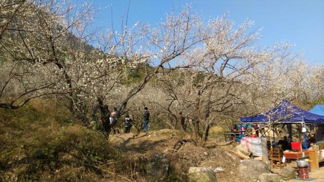 一至三月梅花盛開,遊人商販遍布山頭。