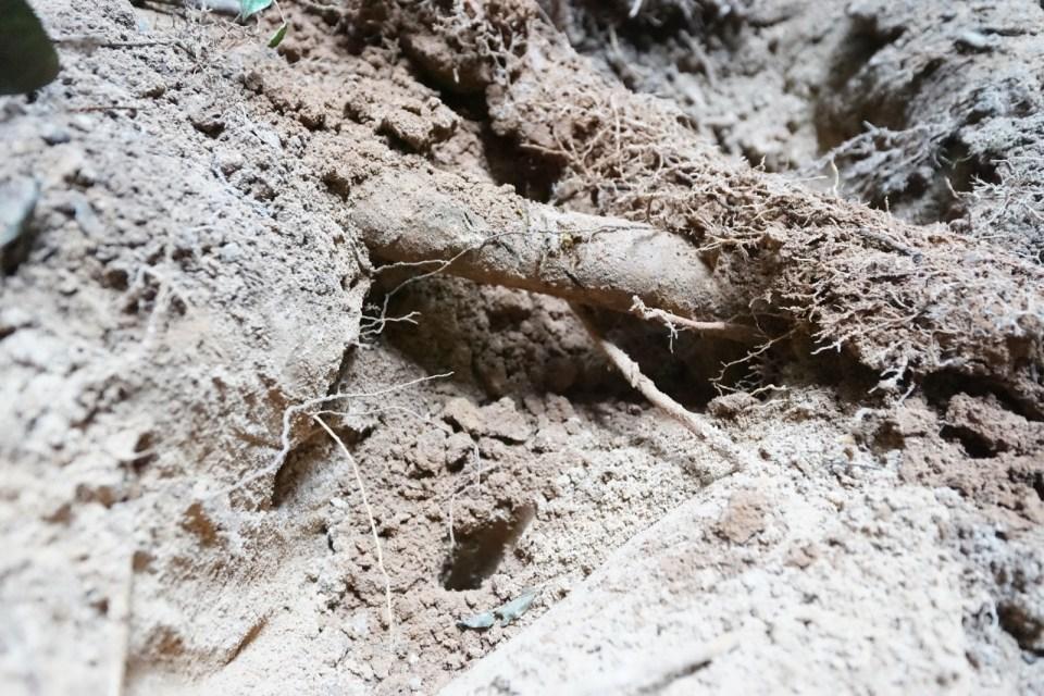 挖出鐵軌後,再向下挖約 0.3米(一呎),沒有發現。(中間圓形是樹根)