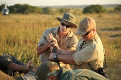 Rhino-notching-and-conservation-at-andBeyond-Phinda-Private-Game-Reserve
