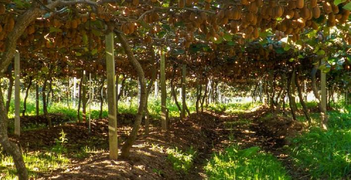 Plantação-de-Kiwi-Foto-divulgação-780x400 Title category