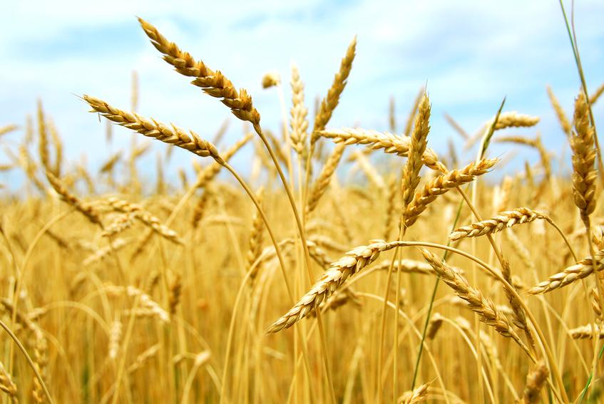 Risultati immagini per campo di grano
