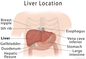 Liver Anatomy, Location and Function | eHealthStar