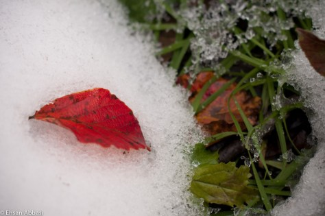Snow and red leaf