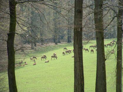 Wildpark Daun rotwild damwild wald lichtung bäume baum tiere herde
