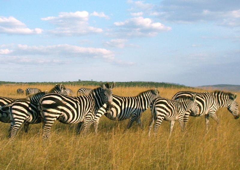 https://i2.wp.com/www.eijkhout.net/kenya/page85/files/zebra-herd.jpg