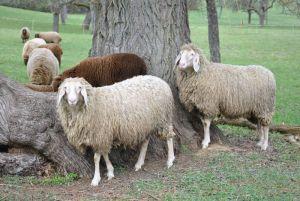 Rasta-Schafe