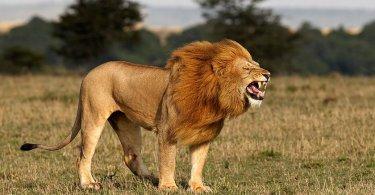 Cristãos oram durante ataque e leões os livram de terroristas, na Ásia