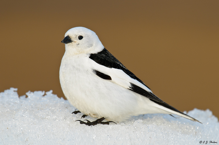 Image result for snowbunting