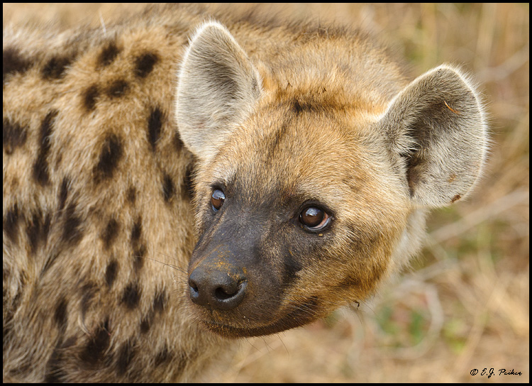 Hyena Pictures