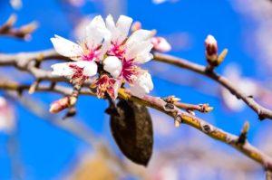 Blomman och mandeln på mandelträdet varifrån mandelolja utvinns