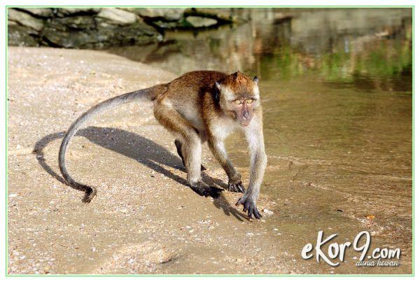 apa beda kera dan monyet, apa beda monyet dan kera, apa bedanya kera dan monyet, apa bedanya monyet dan kera, apa bedanya monyet dengan kera, apa perbedaan antara monyet dan kera, apa perbedaan monyet dan kera, apa perbedaan monyet dengan kera, apa perbedaan monyet sama kera, apakah perbedaan monyet dan kera, beza monyet dan kera, cerita monyet dan kera, dongeng monyet dan kera, gambar monyet dan kera, jenis monyet dan kera, monyet dan kera