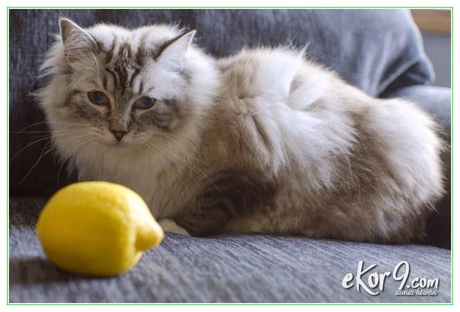 """Cara Hilangkan Kutu Kucing Secara Alami """"Tradisional"""" di Dalam Rumah"""