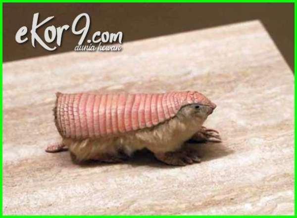 hewan pemakan semut huruf terakhir r, hewan pemakan semut rangrang, hewan pemakan semut merah, hewan pemakan semut raksasa, gambar hewan pemakan semut, jenis hewan pemakan semut, contoh hewan pemakan semut