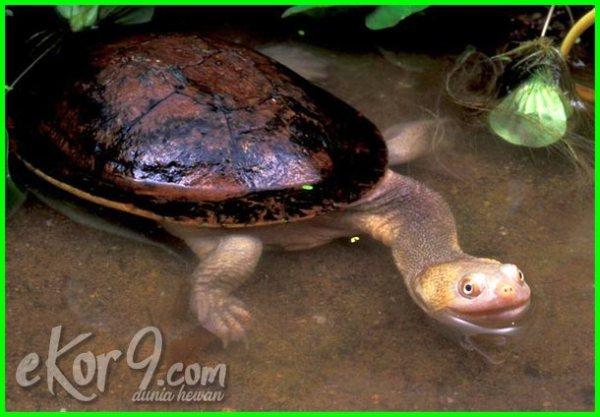 hewan reptil langka indonesia, reptil langka indonesia, reptil langka yang ada di indonesia, binatang reptil langka di indonesia