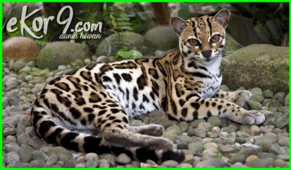 foto kucing paling langka, batu mata kucing paling langka, kucing paling langka, kucing paling langka di dunia, kucing paling langkah di dunia, kucing langka yang hampir punah, jenis kucing paling langka, 7 jenis kucing paling langka, 5 jenis kucing hutan paling langka di dunia