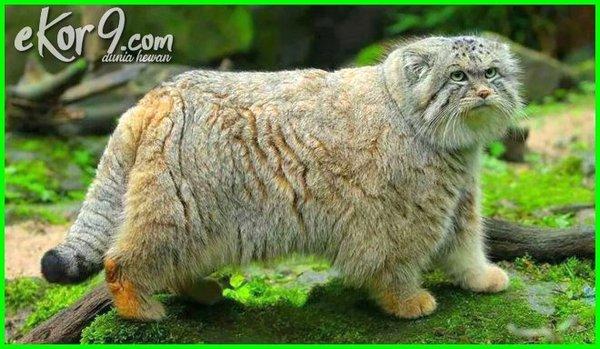 kucing yang langka, 10 kucing terlangka di dunia, kucing langka 3 warna, 7 kucing langka versi on the spot, kucing paling langka di indonesia, kucing paling langkah, kucing hutan paling langka, ras kucing paling langka, warna kucing paling langka, kucing besar paling langka, kucing yang paling langka di dunia