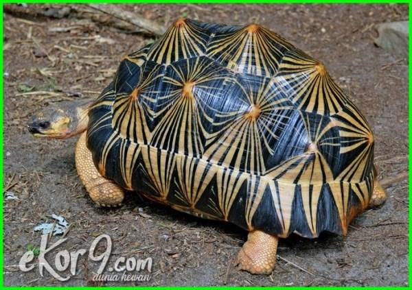 macam kura kura peliharaan, jenis kura kura peliharaan, jenis kura kura peliharaan di indonesia, jenis kura kura peliharaan dan harganya, macam macam jenis kura kura peliharaan, jenis kura kura untuk peliharaan, contoh kura-kura peliharaan, jenis kura kura darat peliharaan kura kura peliharaan harga, macam macam kura kura peliharaan