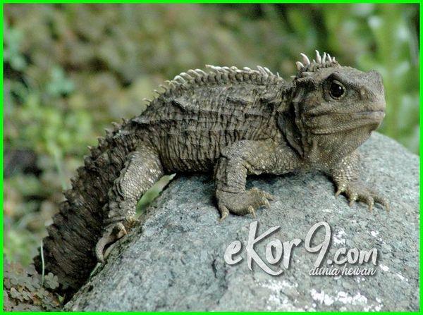 jenis reptilia yang mendapat julukan fosil hidup, jenis reptil yang termasuk herbivora dan omnivora, jenis reptil yg termasuk herbivora dan omnivora, melata mamalia reptil amfibi invertebrata (jenis), contoh jenis reptil yang termasuk herbivora, contoh jenis reptil yang termasuk karnivora herbivora dan omnivora, foto jenis reptil, gambar jenis reptil, jenis hewan reptil, sebutkan jenis reptil yang termasuk herbivora